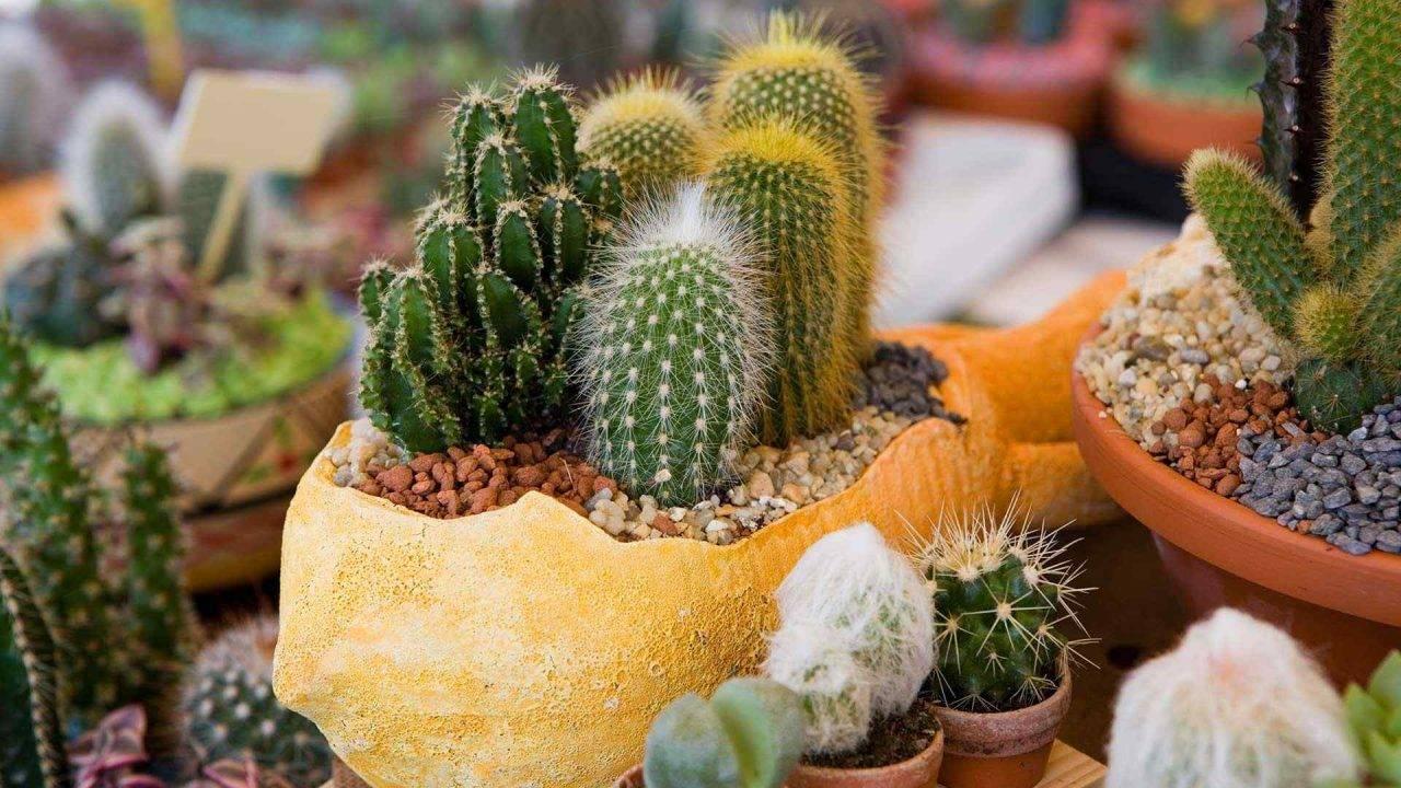 Можно ли держать дома кактусы – приметы и суеверия: хороший или плохой символ для квартиры