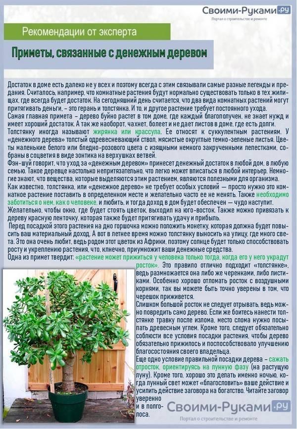 Денежное дерево: приметы и суеверия, можно ли держать дома