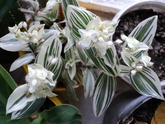 Традесканция — комнатный цветок с приметами и фото