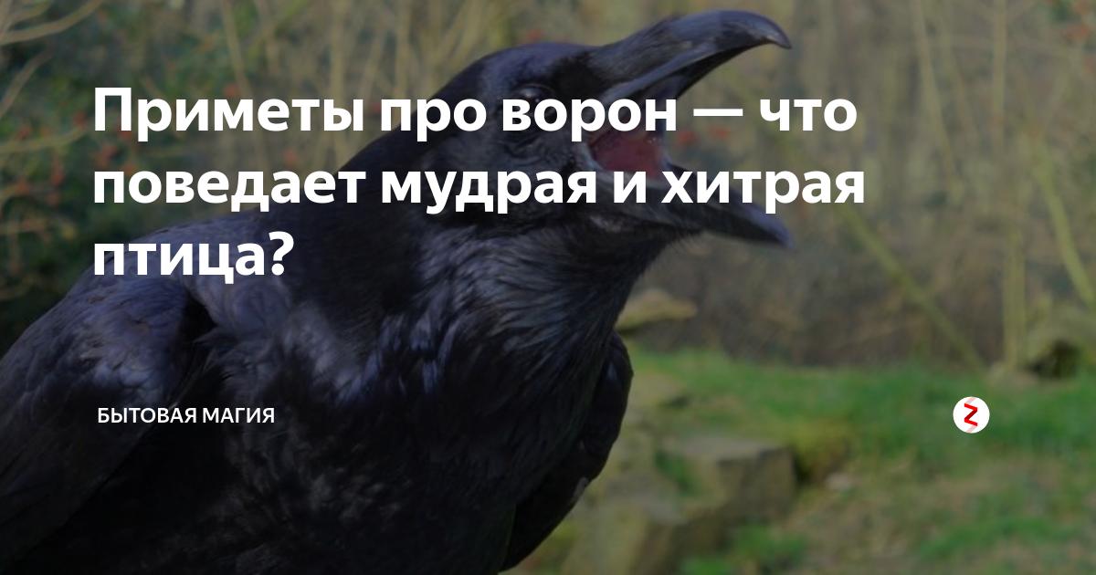 Приметы про ворон — что говорили наши предки. примета: ворона (к чему каркает, стучит, села на окно)