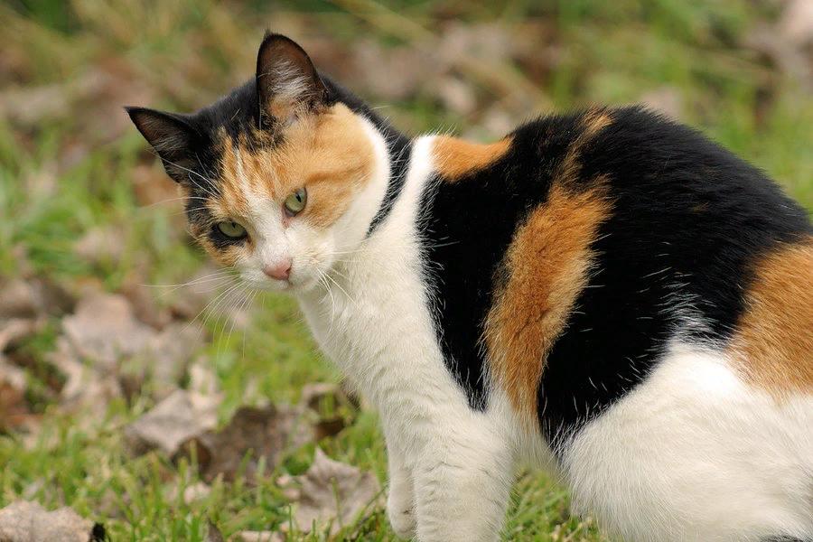 Как трехцветная кошка влияет на энерегетику дома в котором она живет - гороскоп на joinfo.ua