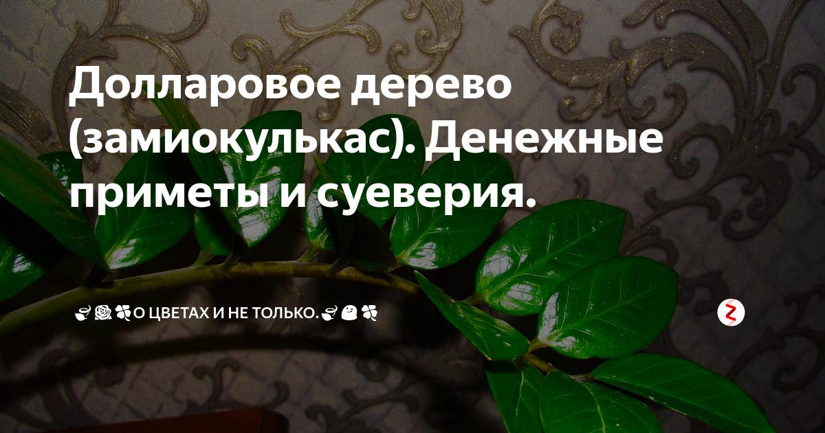 Цветок замиокулькас в доме: приметы и суеверия (+фото)