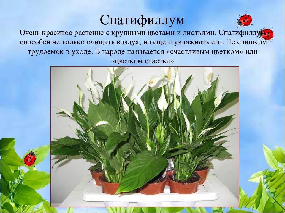 Цветок женское счастье: приметы и суеверия, ритуалы для достижения гармонии в доме