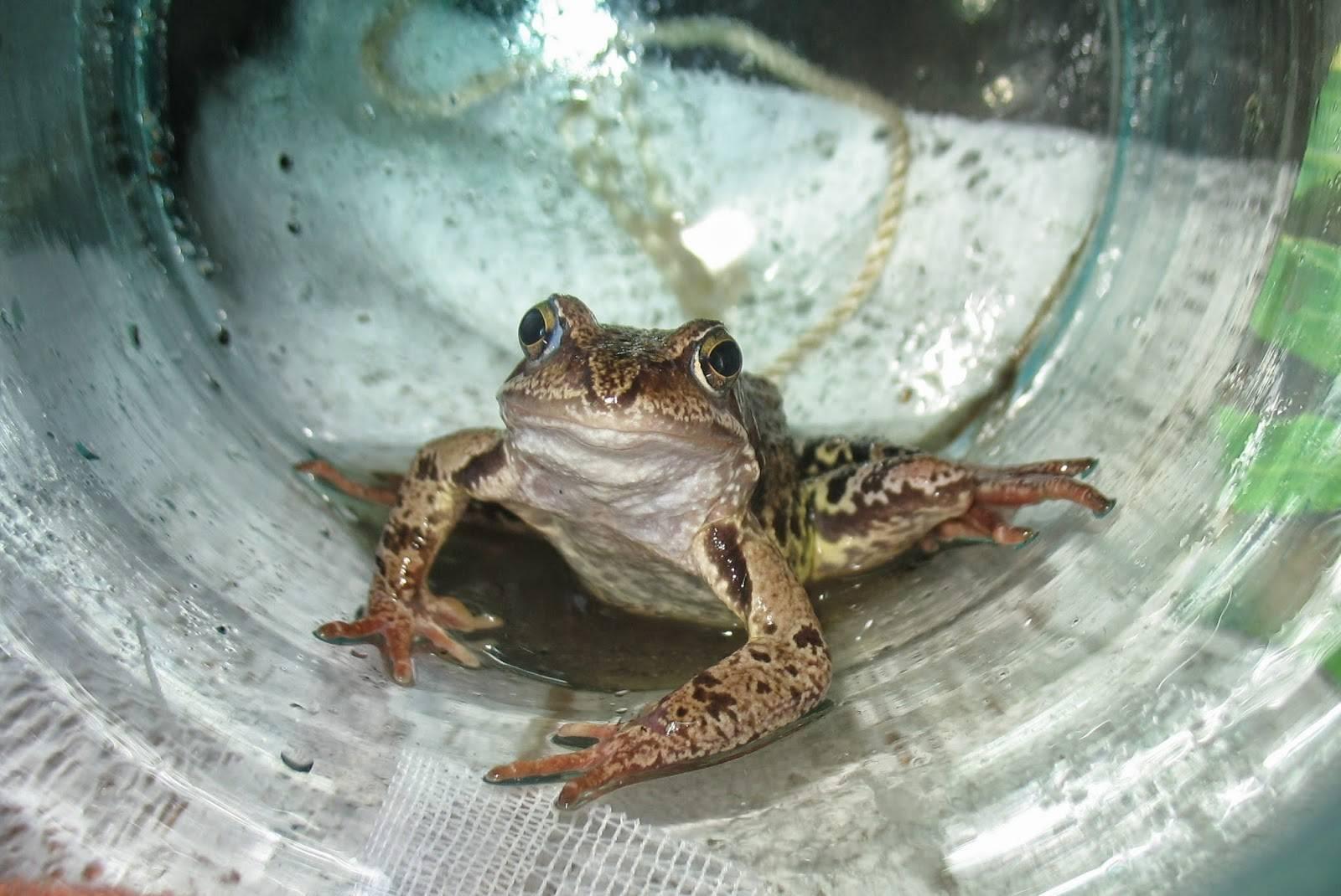 Народные приметы о лягушках: запрыгнула в дом