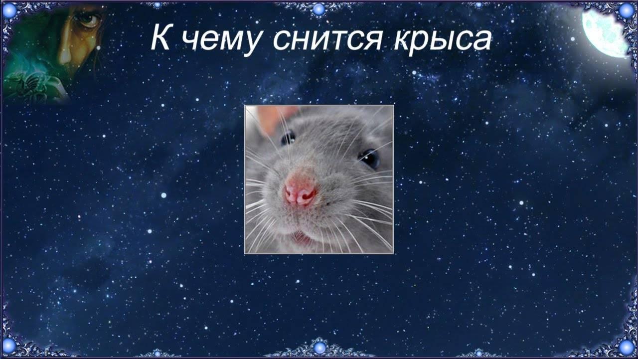 Сонник, к чему снятся крысы: мужчине, женщине, укус крысы во сне.