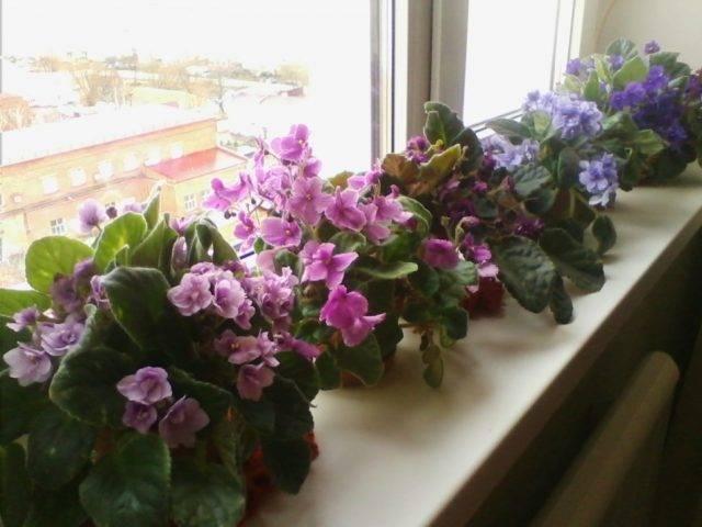 Можно ли держать в доме фиалки: народные приметы и суеверия - влияние цветов на дом и здоровье.