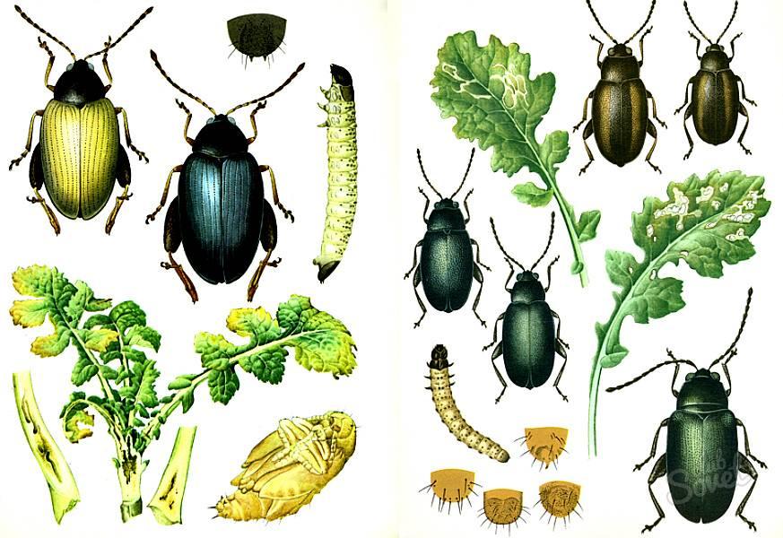 Ядовитые растения – лесные и полевые