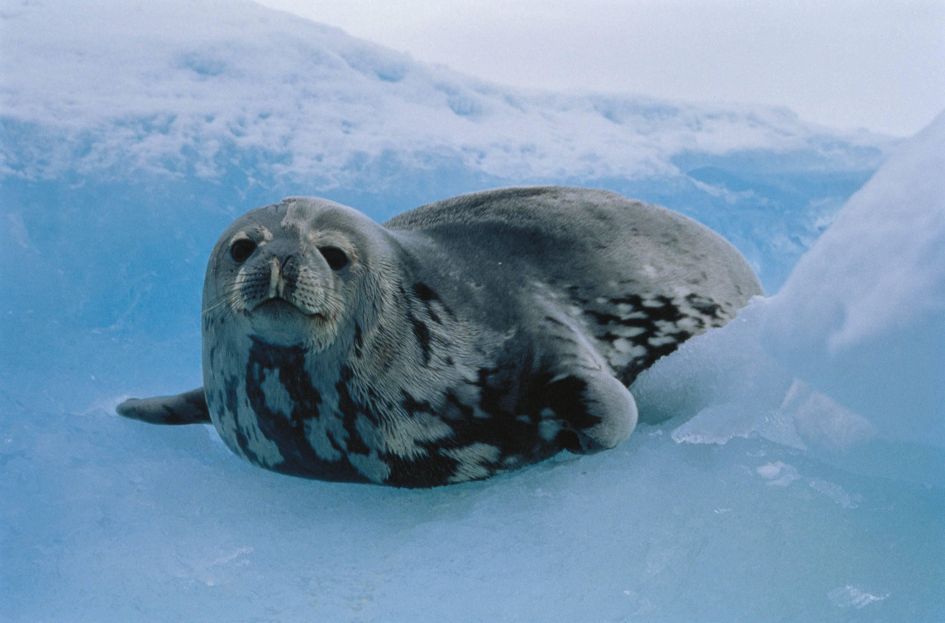 Роаны — фейри-тюлени из северных стран Европы