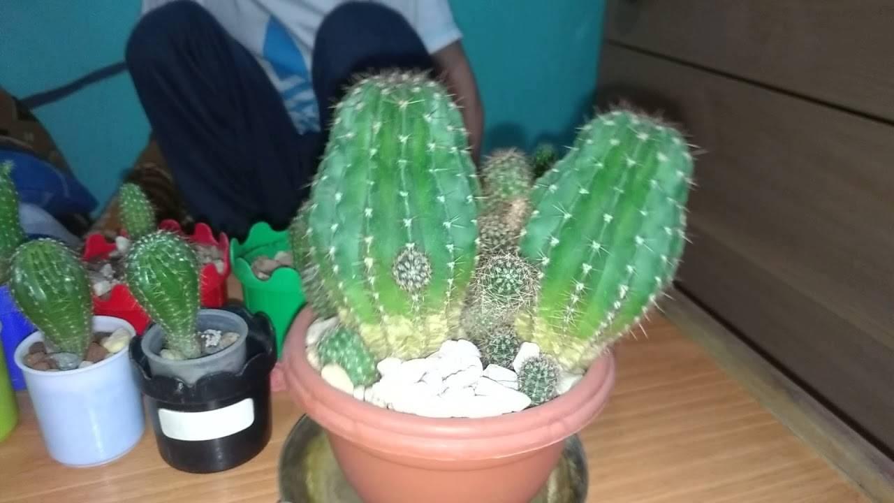 К чему в доме цветет кактус