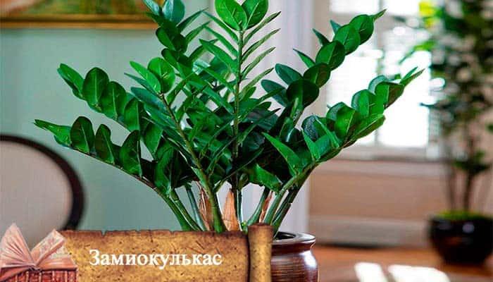 Замиокулькас приметы и суеверия: можно ли держать его в доме, мистические истории, фото, о чем говорит цветущее растение