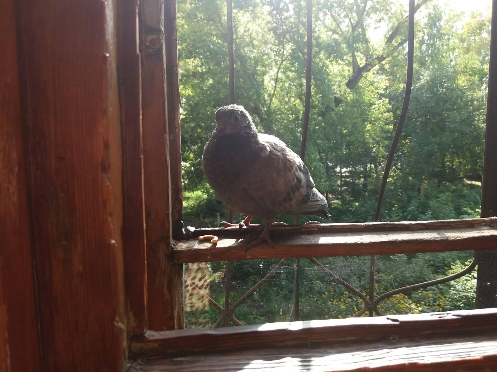Примета голубь залетел на балкон: к чему нагадила белая птица, что это означает