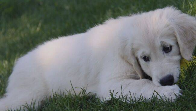 Сонник белая злая собака. к чему снится белая злая собака видеть во сне - сонник дома солнца