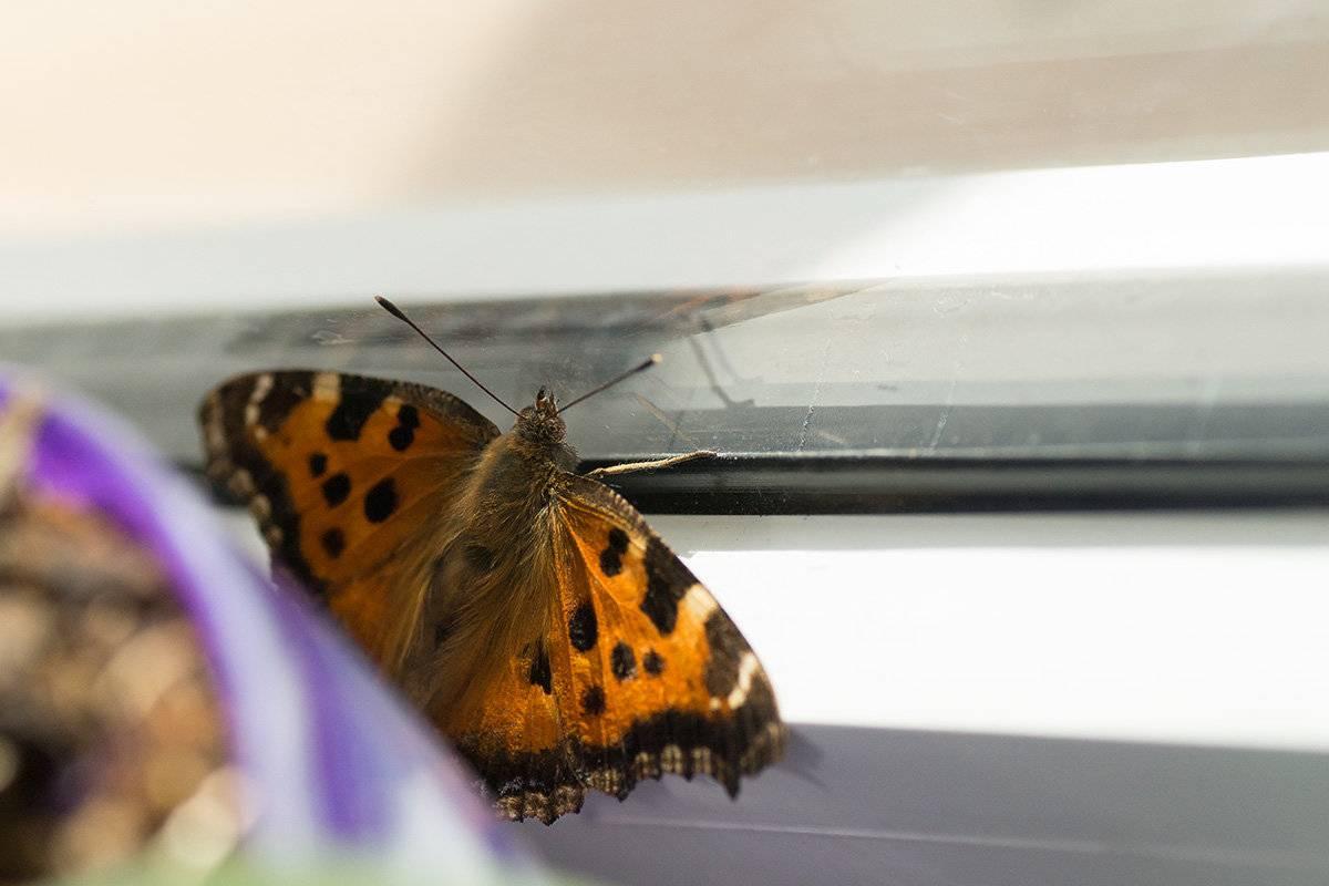 Примета: бабочка залетела в квартиру, дом, окно