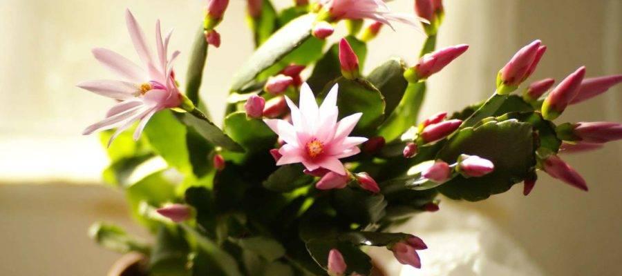 Декабрист цветок – польза и вред, правила ухода, приметы, связанные с цветком.
