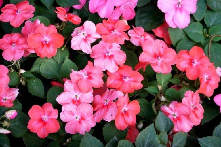 Цветок ванька мокрый - уход в домашних условиях