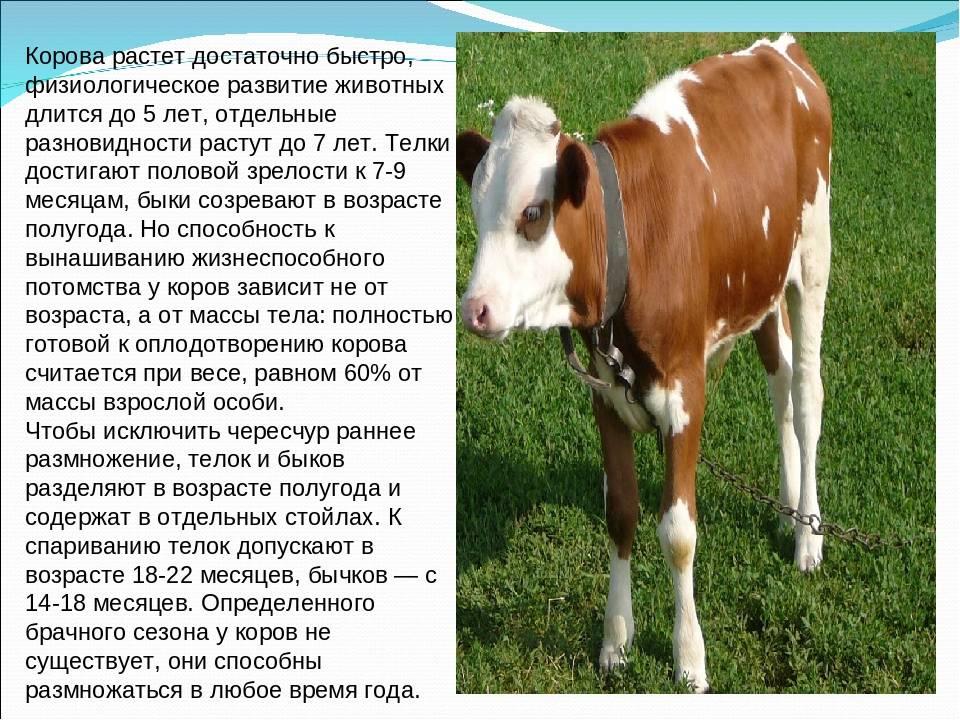 К чему снится корова?
