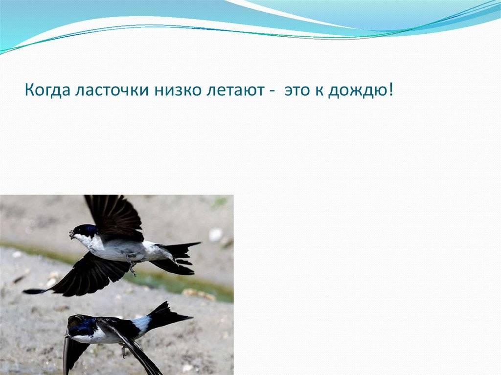 Примета: ласточки низко летают. что означает примета, если ласточка низко летает