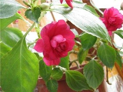 Ванька мокрый (бальзамин): приметы и суеверия, можно ли держать цветок дома — ванька мокрый цветок приметы и суеверия — о психологии просто