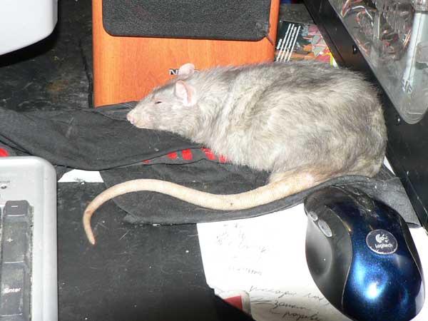 Сонник - крыса - к чему снятся такие сны?