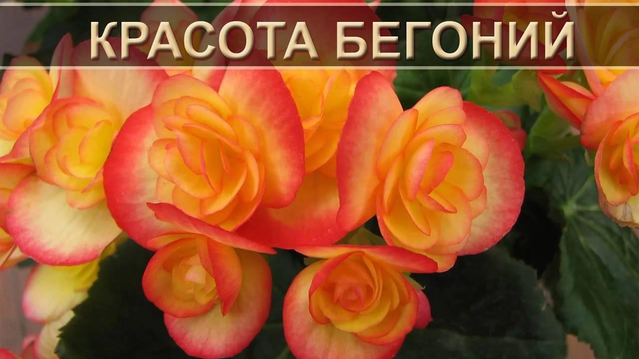Бегония приметы и суеверия для дома, можно ли держать в домашних условиях, что означает цветок для женщин