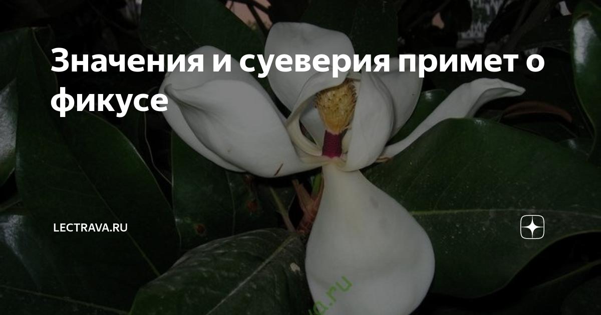 Приметы про шефлеру в доме: что цветок приносит по суевериям, можно ли держать его в домашних условиях