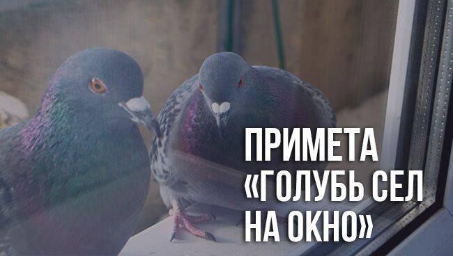 К чему залетает голубь на подоконник