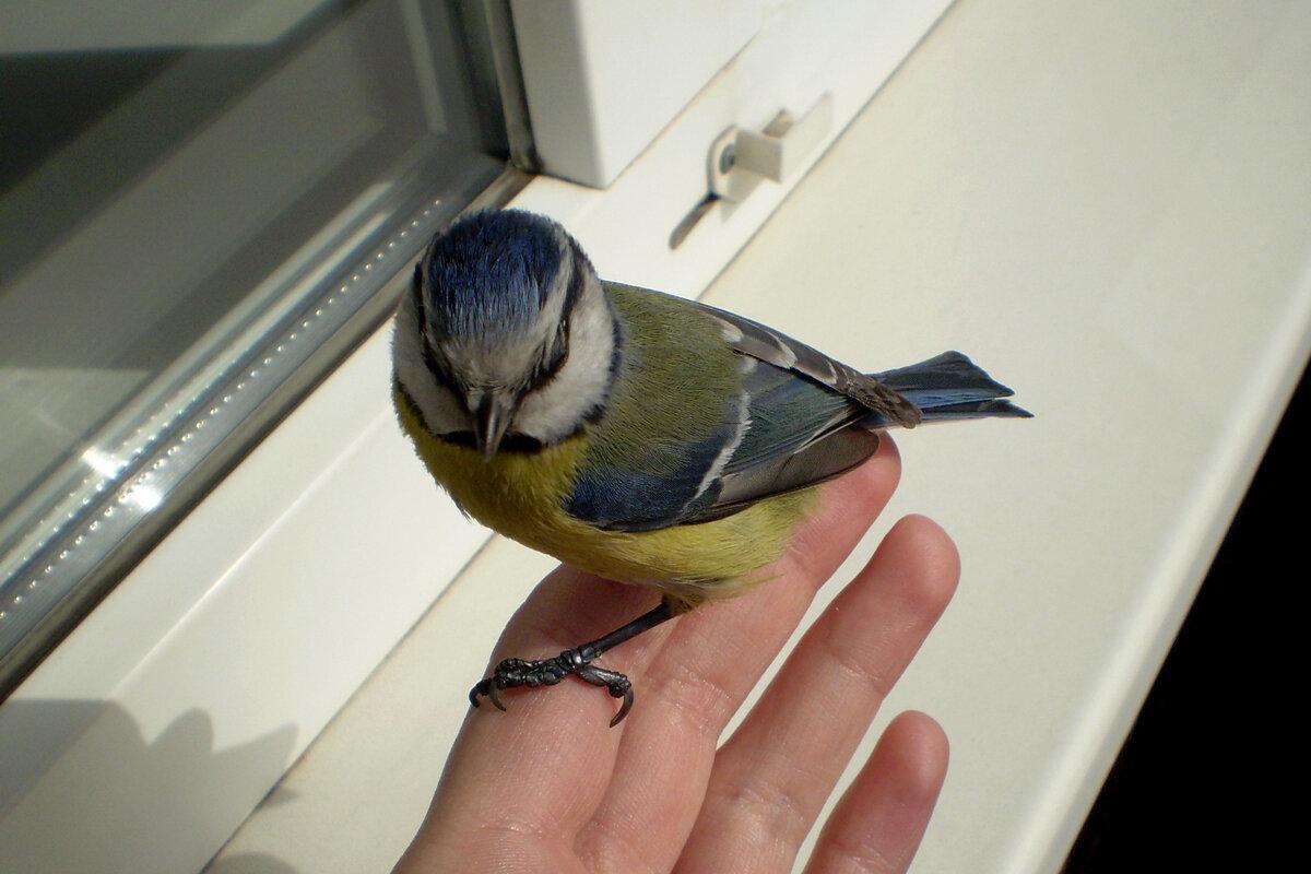 В окно, на балкон или квартиру залетел голубь примета