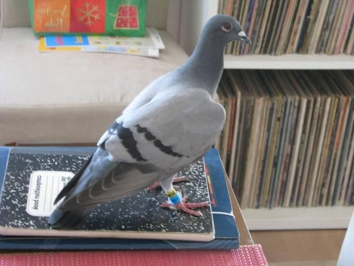 К чему два голубя сели на подоконник - приметы, что значит, если они воркуют