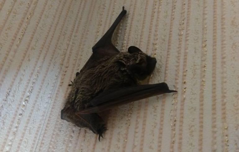 Летучая мышь залетела в дом: значение приметы