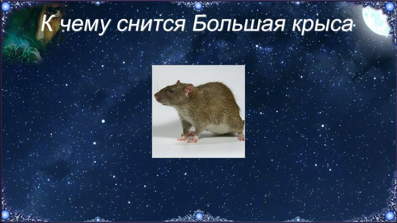 Сонник мыши крысы. к чему снится мыши крысы видеть во сне - сонник дома солнца
