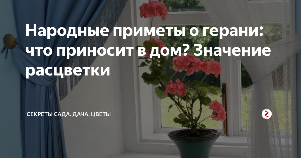 Герань в доме — приметы и суеверия об этом цветке