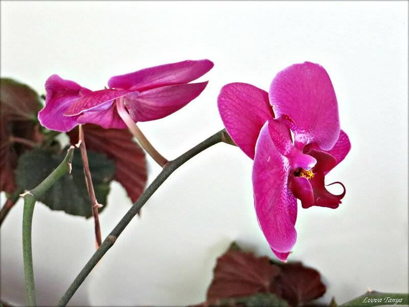 Орхидея в доме: приметы, суеверия и правила круглогодичного цветения :: инфониак