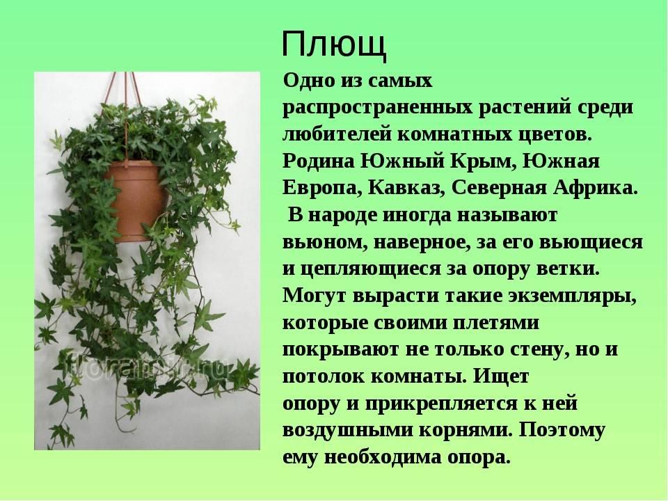 Плющ комнатный: можно ли держать дома, приметы и суеверия про цветок