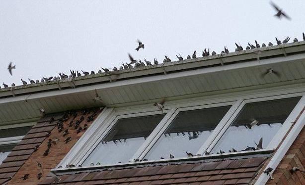 Что по приметам означает, если голубь залетел на балкон