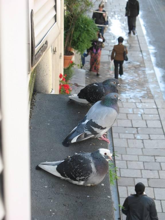 Что означает, если голубь ударился в окно и улетел