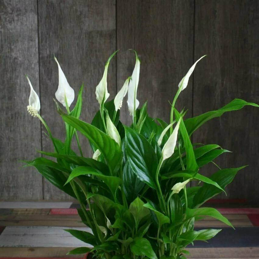 Цветок «женское счастье» (спатифиллум): приметы и суеверия