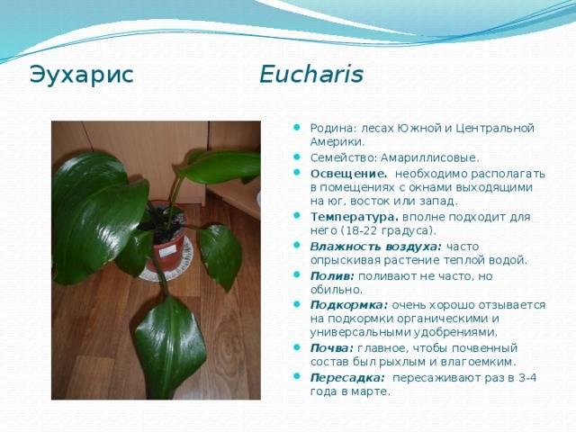 Эухарис - уход в домашних условиях, фото, размножение, болезни, приметы и суеверия