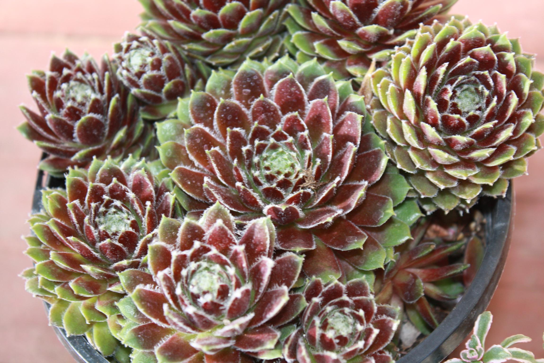 25 видов эхеверии: как за ними ухаживать в домашних условиях и выращивать самостоятельно?