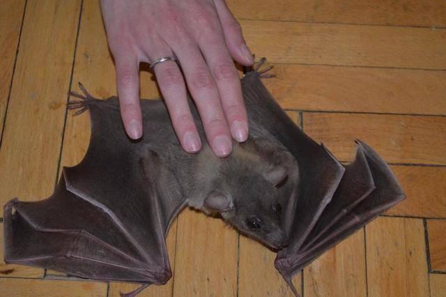 Летучая мышь залетела в дом, квартиру: примета