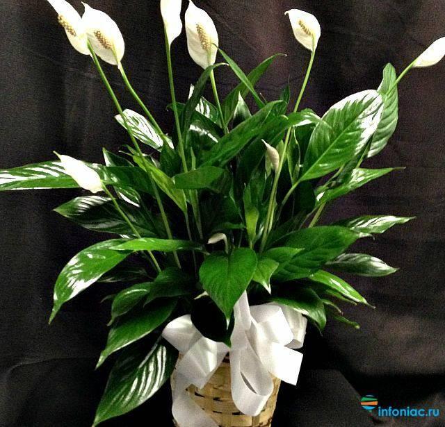 Цветок спатифиллум – женское счастье: что говорят народные приметы и суеверия