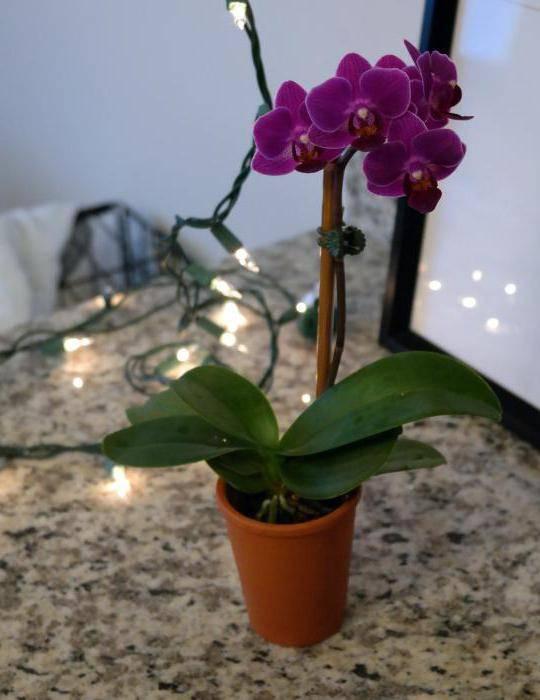 Орхидея: значение и символы, которая она олицетворяет. орхидея в подарок