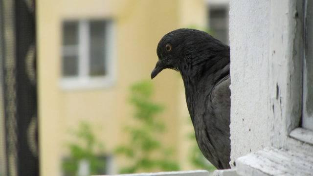 Приметы о голубе, залетевшем в окно
