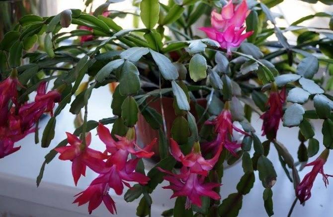 Декабрист цветок — уход в домашних условиях, приметы о цветении дома