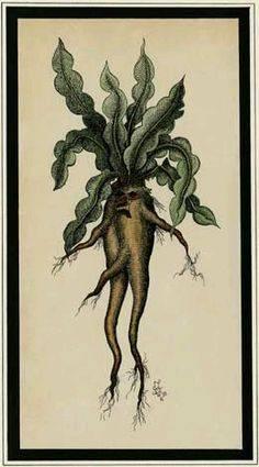 ???? магическое растение мандрагора — что это и зачем оно нужно   описание, свойства, применение
