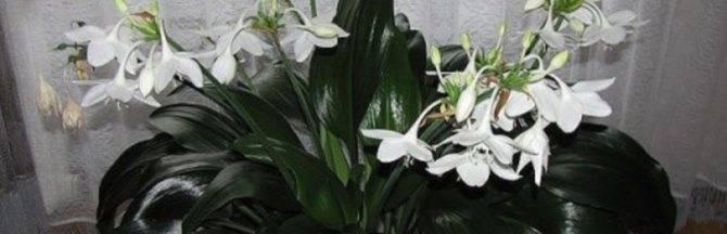 Восковой плющ: фото, можно ли держать дома, приметы и суеверия про цветок хойя