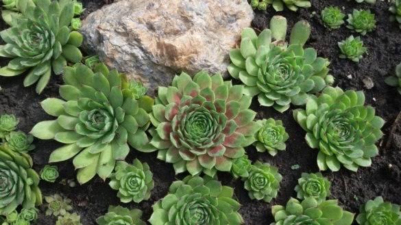Молодило - каменная роза. выращиваем дома и на улице. популярные виды с фото