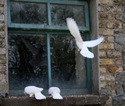 Примета голубь ударился в окно и улетел, бьется, врезался: к чему это