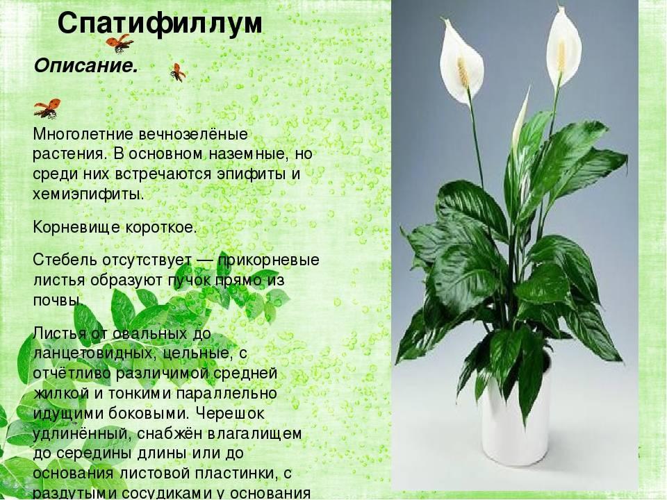 Цветок женское счастье: приметы и суеверия для женщин, магические свойства цветка, что значит если спатифиллум зацвел.