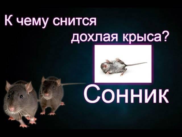 Крысы в пище