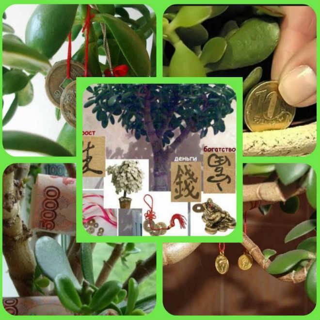Как правильно посадить денежное дерево для привлечения денег | zdavnews.ru